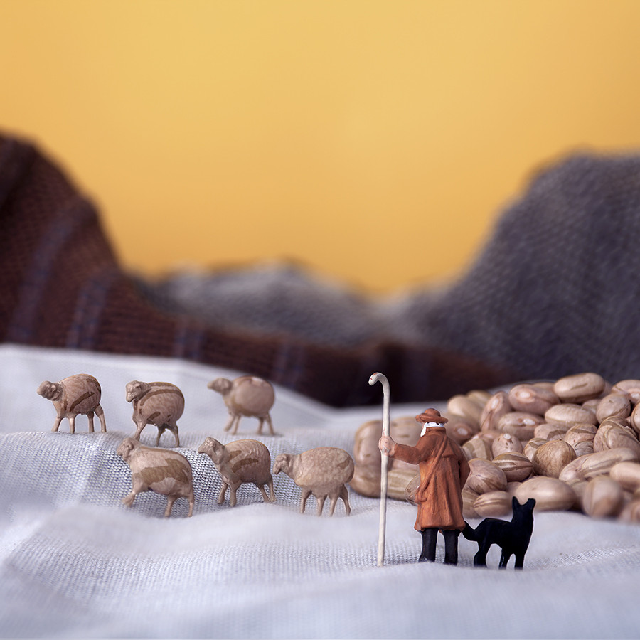 Sheep-Beans-Field