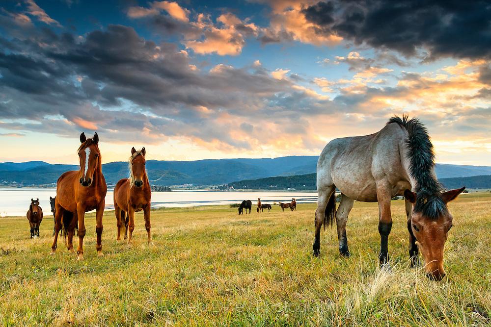 Batak horses