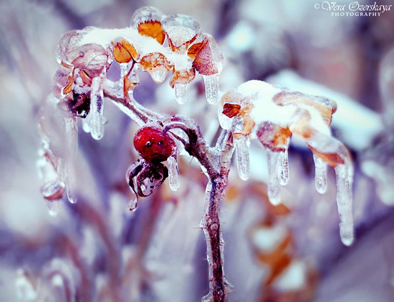 Zauberhafte Naturfotografien von Vera Ozerskaya_gefrorene Hagebutte
