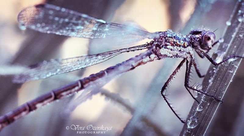 Zauberhafte Naturfotografien von Vera Ozerskaya_eine Libelle